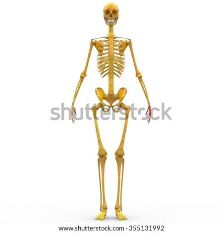 Human Skeleton Finger Joints Ez Canvas