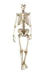 Human skeleton in full growth, isolated on white background