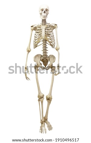 Human skeleton in full growth, isolated on white background stock photo