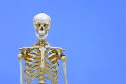 Human skeleton model. Anatomical skeleton model. Skeletal system isolated on blue background.
