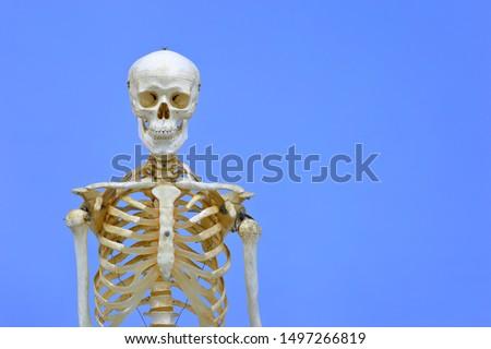Human skeleton model. Anatomical skeleton model. Skeletal system isolated on blue background.