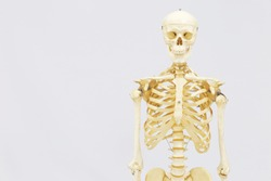 Human skeleton model. Anatomical skeleton model. Skeletal system isolated on white background.