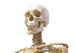 Human skeleton skull neck, spine and shoulders isolated on white background