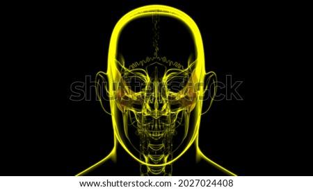 Human Skeleton Skull Temporal Bone Anatomy For Medical Concept 3D Illustration Foto stock ©