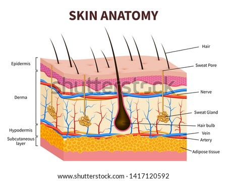 Human skin. Layered epidermis with hair follicle, sweat and sebaceous glands. Healthy skin anatomy medical illustration. Dermis and epidermis skin, hypodermis
