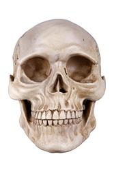Human skull (cranium) isolated on white background