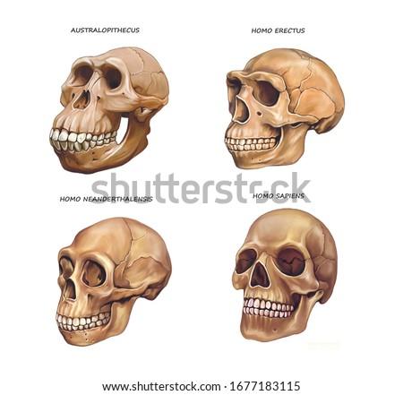 human skull evolution: Australopithecus, Homo erectus, Neanderthal and Homo sapiens, illustration drawing for encyclopedia, realistic image isolated on white background Stock photo ©