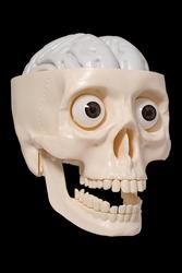 Human skull made of plastic