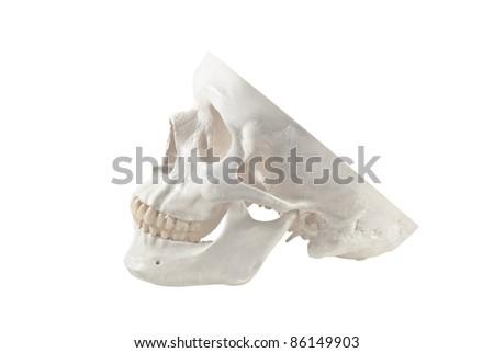 Human skull model,isolated