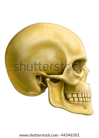 human skeleton skull. stock photo : Human skull,