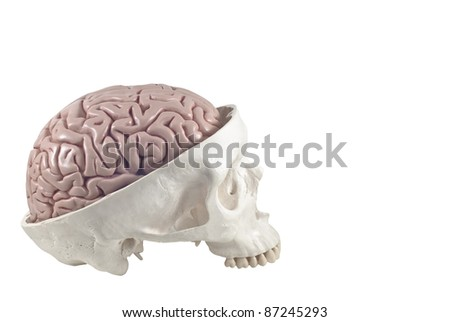 Human skull with brain model,isolated