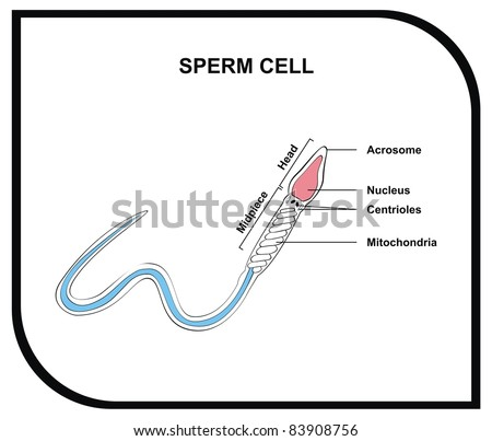 sperm cell physiology