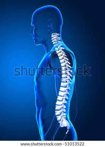 Human spone side view