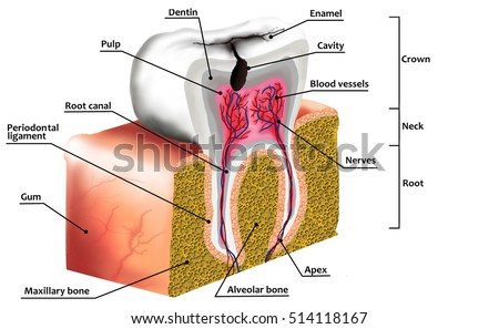 Royalty free human tooth decay anatomy diagram with 514724551 human tooth decay anatomy diagram with description illustration of tooth cross section 514118167 ccuart Gallery