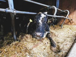Humanely raised dairy cows. Photographed in humane farm in Brandnertal, Vorarlberg, Austria.
