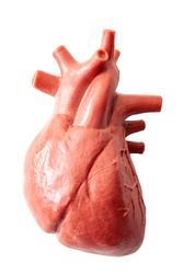 Humans anatomy and internal organs concept with a medical model of the human heart isolated on white with a clipping path cutout