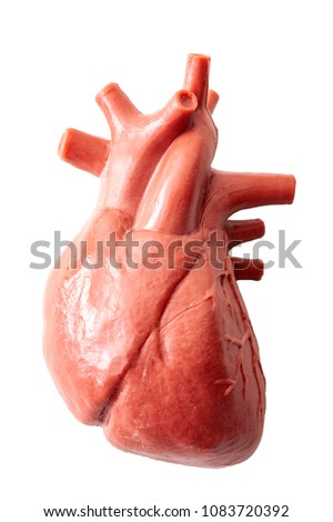 Humans anatomy and internal organs concept with a medical model of the human heart isolated on white with a clipping path cutout - Shutterstock ID 1083720392