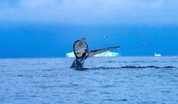 Humback Baleen Whale Tail Chasing Krill Blue Iceberg Sea Water Charlotte Bay Antarctic Peninsula Antarctica.  Baleen Whale