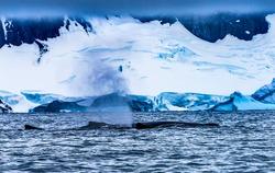 Humback Baleen Whales Breathing Chasing Krill Snow Mountains Glaciers Charlotte Bay Antarctic Peninsula Antarctica