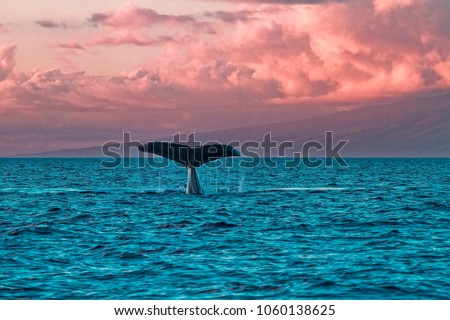 Photo of  Humback whale fluke during a sunset whale watch in Lahaina on Maui.