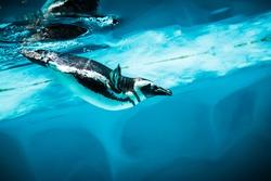Humboldt Penguin (Spheniscus humboldti) also termed Peruvian Penguin, or Patranca, swimming in the clear water.
