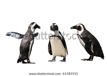 Humboldt Penguin (Spheniscus humboldti) isolated against white background.