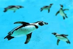 Humboldt penguin (Spheniscus humboldti) swimming under water