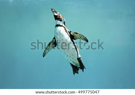 Stock Photo Humboldt Penguin under water in clear blue ocean swimming to the surface with wings open,