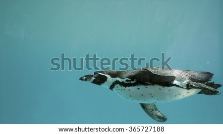 Stock Photo Humboldt Penguin underwater gliding/ Swimming
