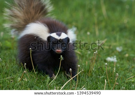 Humboldt's hog-nosed skunk (Conepatus humboldti) searching for food in Valle Chacabuco, Patagonia, Chile Stock fotó ©