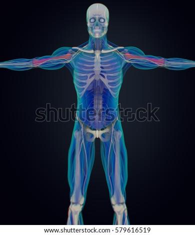 Humerus Bone Human Anatomy Skeletal System 3d Illustration Ez