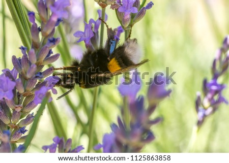 Hummel climbs from one lavender branch to the next