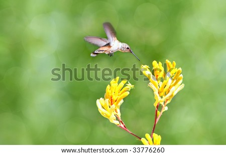 humming bird about to take a sip from Kangaroo Paws plant - beautiful bokeh background