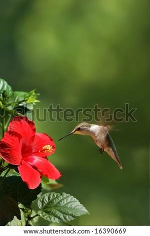 Humming Bird Feeding Portrait