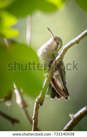 Hummingbird #731140438