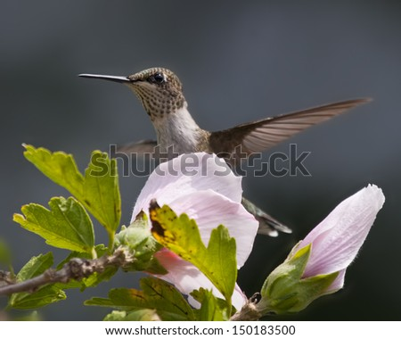 Hummingbird and Flower - stock photo