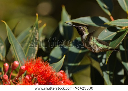 Hummingbird and red tree flower.  View of hummingbird hovering next to red tree flower.
