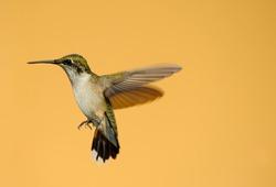 Hummingbird. Beautiful female ruby throated hummingbird in motion against a neutral backdrop.