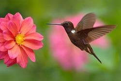 Hummingbird Brown Inca, Coeligena wilsoni, flying next to beautiful pink flower, pink bloom in background, Colombia.