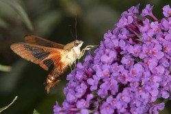 Hummingbird clear wing, Hemaris thysbe, a hawk moth in the Sphingidae, caught in flight while visiting a lavender butterfly bush at the Donnelly Preserve in South Windsor, Connecticut.