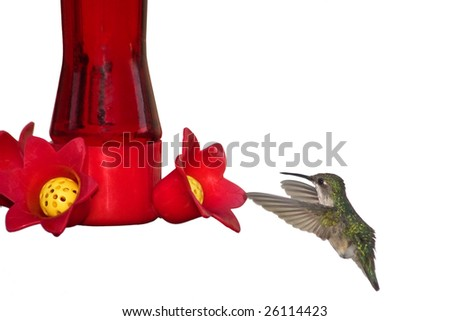 hummingbird digests nectar after morning feeding