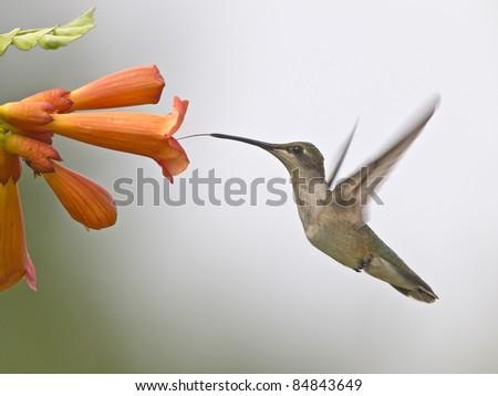 Hummingbird drinking nectar from a flower