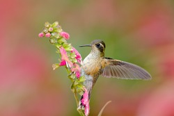 Hummingbird drinking nectar from pink flower. Feeding scene with Speckled Hummingbird. Bird from Ecuador tropical forest. Exotic bird with flower in the forest.