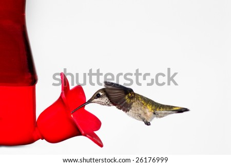 hummingbird drives into a red feeder sipping nectar