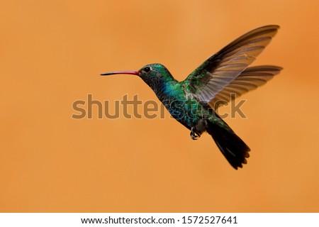 Hummingbird, El Fuerte, Sinaloa, Mexico