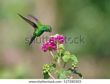 Hummingbird feeding at a flower. Photo taken in Panama (Central America).
