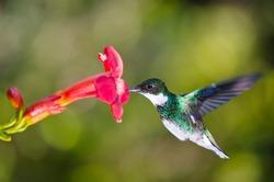 hummingbird feeding at red flower