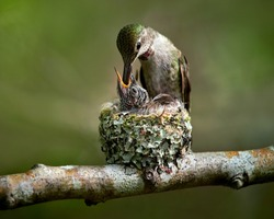 Hummingbird feeding baby in the nest