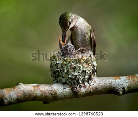 Hummingbird feeding baby in the nest
