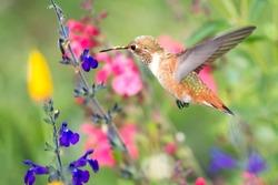 Hummingbird feeding in flower garden
